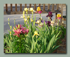 Iris and Lilies