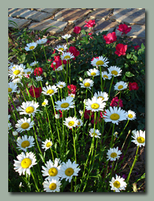 Knockout Roses and daisies
