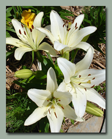 LaSouth Pacific Asiatic Lily