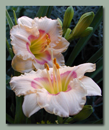 Click here for Small Daylilies
