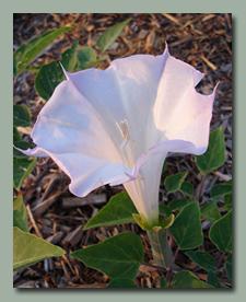 Datura Moonflower