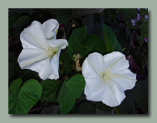 Moonvine Flower