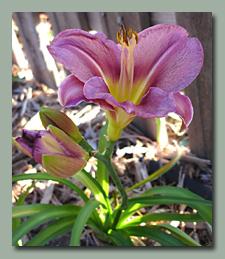 Olive Bailey Langdon daylily