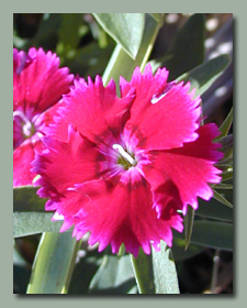 The first dianthus bloom