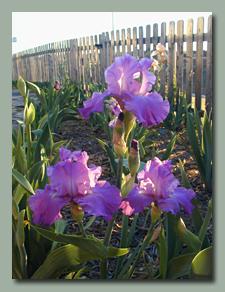 Purple-Blue Ruffled Iris