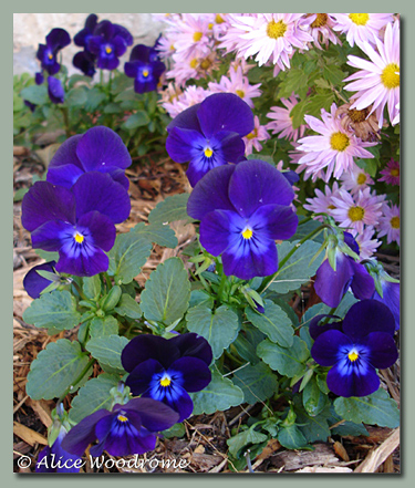 I planted a lot of pansies and they got a good start