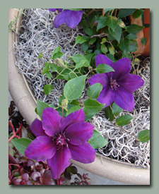Patio Clematis Picardy