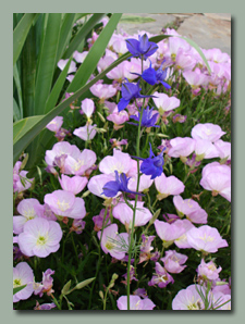 Pink Primrose and Larkspur
