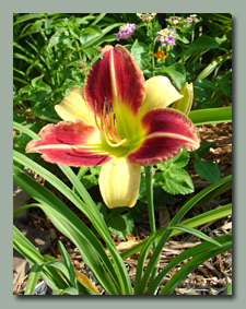 Click here for Bi-Colored Daylilies