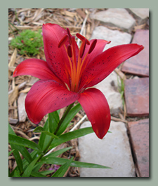 Red Asiatic Lily
