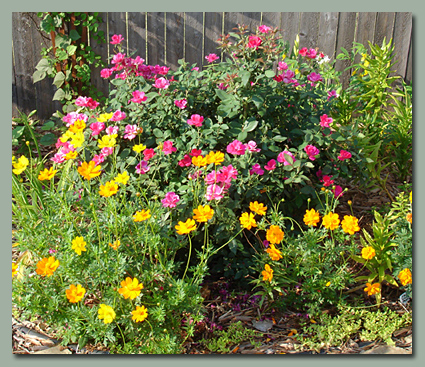 Roses and Sulphur Cosmos
