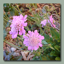 The scabiosa has liked the cool weather