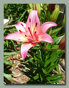 Strawberry Pink Asiatic Lily