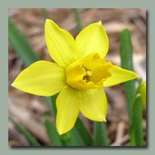 a minature daffodil, Tete a tete