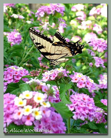 tiger swallowtail butterfly on Lantana
