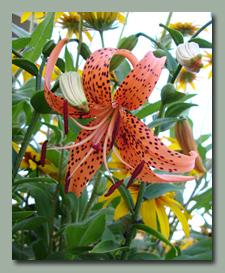 True Tiger Lily