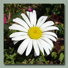 The Shasta Daisies think it is spring