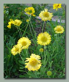 Yellow Gaillardia in late May
