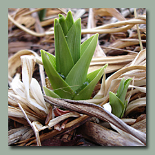 daylily sprout