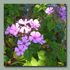 The Phlox just keeps going