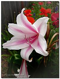 12 Apostle Crinum Lilies