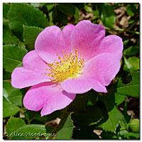 Annie's Rose