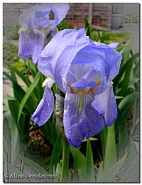 A little Blue Bearded Iris