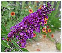 Butterfly Bush Begins to bloom