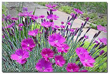 carnation dianthus
