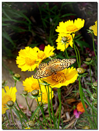 Coreopsis and Butterfly