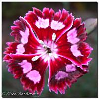 Dianthus bloom