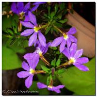 Fan Flower