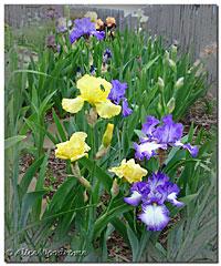 April Irises