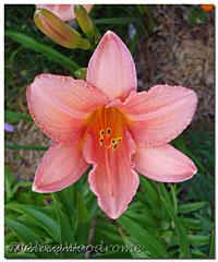 A misslabled daylily