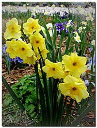 Little Yellow Daffies