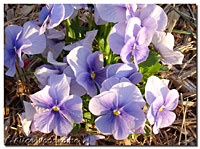 Pansies March 14th
