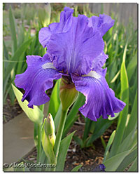 Purple/Blue Ruffled Iris