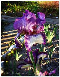 Raspberry Frost Iris