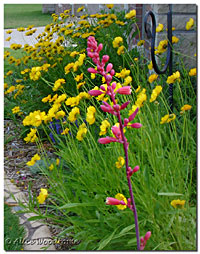 Red  Yucca and Coreopsis
