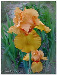 A lovely gold iris