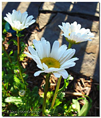 Shasta Daisies have begun to bloom
