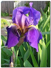 South Forty Purple Iris