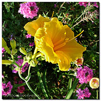 Stella deOra Daylilies