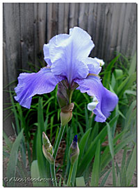 A lovely Blue-Violet Iris