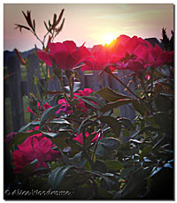 Sunup with Roses