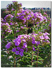 Tall Garden Phlox September 1