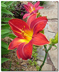 Unidentified Red Daylily