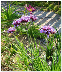 Verbena on a Stick