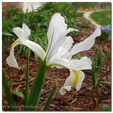 White Dutch Iris