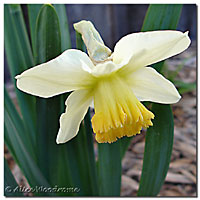 White and Yellow Daffy